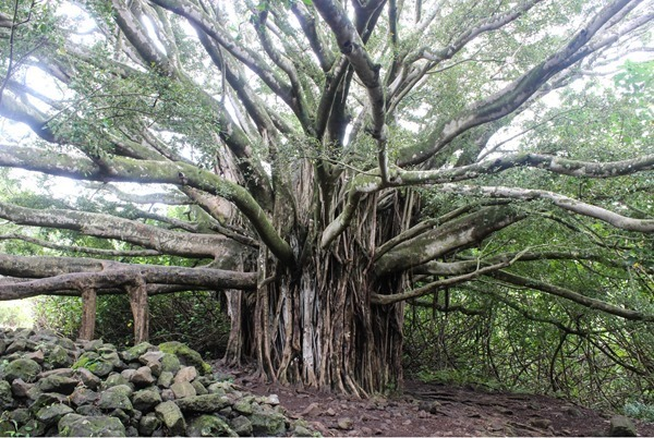 banyan-tree--_thumb9_thumb